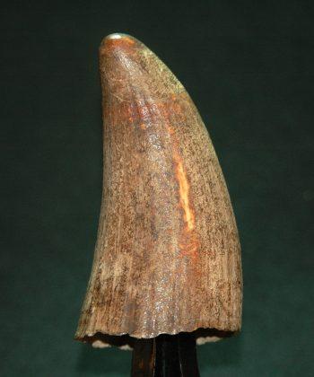 犀牛角 原态小角